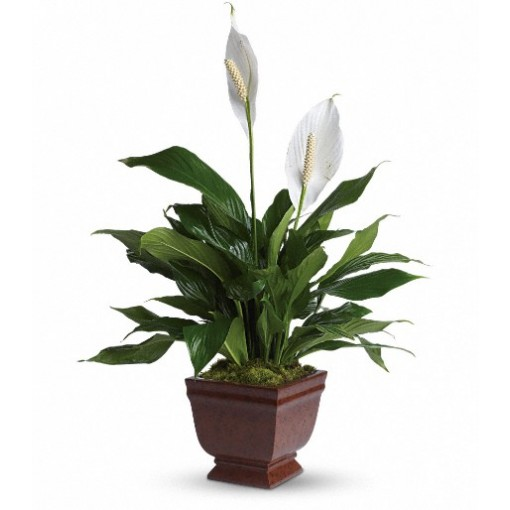 """Lovely One Spathiphyllum"""